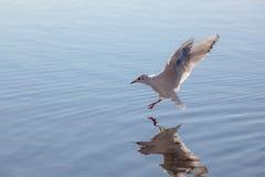 Gaviota cerca de la superficie del agua Fotos de archivo libres de regalías