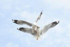 Gaviota común de los pares del vuelo en el cielo Imágenes de archivo libres de regalías