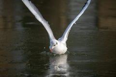 Gaviota común que se acerca a un río congelado imagen de archivo libre de regalías