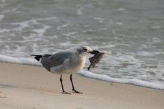 Gaviota con la playa la Florida el Golfo de México de ciudad de Panamá de la comida imagen de archivo