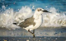 Gaviota con los pescados por la onda en la playa Fotografía de archivo libre de regalías