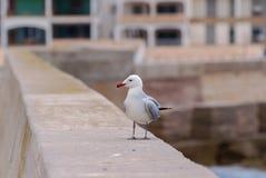 Gaviota curiosa en una pared Mallorca del puerto Foto de archivo libre de regalías