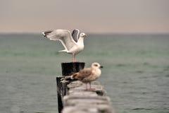 Gaviota de arenques Fotos de archivo