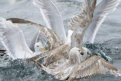 Gaviota de arenques Imagen de archivo