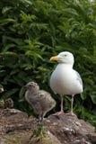 Gaviota de arenques con el polluelo imágenes de archivo libres de regalías