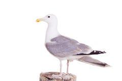 Gaviota de arenques europea, 2 años, en blanco Fotos de archivo libres de regalías