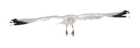Gaviota de arenques europea, argentatus del Larus Foto de archivo