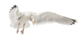 Gaviota de arenques europea, argentatus del Larus Imagenes de archivo