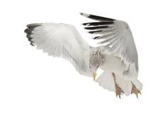 Gaviota de arenques europea, argentatus del Larus Imagen de archivo libre de regalías