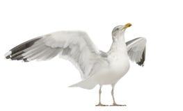Gaviota de arenques europea, argentatus del Larus Fotos de archivo libres de regalías