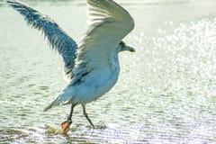 Gaviota de arenques que toma un baño en el mar Báltico fotografía de archivo