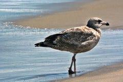 Gaviota de Brown que se coloca en la arena a lo largo del océano Imagen de archivo