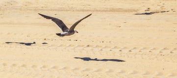 Gaviota de California que vuela sobre la playa arenosa Foto de archivo libre de regalías