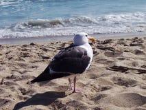 Gaviota de la playa Fotografía de archivo