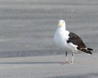 Gaviota de la playa Fotos de archivo libres de regalías