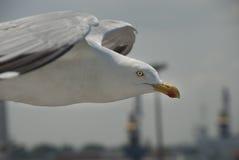 Gaviota de mar Foto de archivo libre de regalías