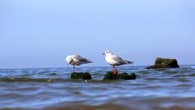 Gaviota de mar Fotografía de archivo libre de regalías