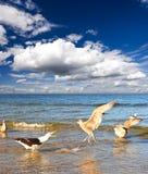 Gaviota de mar en el mar, cielo nublado azul Fotos de archivo