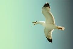 Gaviota de mar en vuelo en un cielo azul Foto de archivo libre de regalías