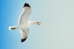 Gaviota de mar en vuelo en un cielo azul Imagenes de archivo