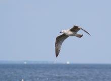 Gaviota de risa en vuelo sobre el agua Fotos de archivo libres de regalías