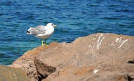 Gaviota de Thoughtfull observando el mar Fotografía de archivo