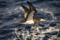 1 gaviota del Caribe del bobo que vuela bajo Imagen de archivo libre de regalías