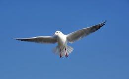 Gaviota del día asoleado del azul de cielo de la meta de la mosca del pájaro Foto de archivo libre de regalías