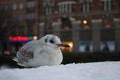 Gaviota del invierno fotografía de archivo libre de regalías