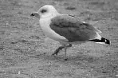 Gaviota del pájaro que se sienta en la playa Foto de archivo libre de regalías