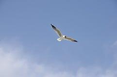 Gaviota del vuelo Foto de archivo libre de regalías