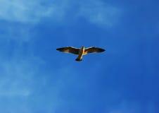 Gaviota del vuelo Imagenes de archivo