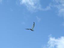 Gaviota del vuelo Fotografía de archivo