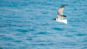 Gaviota del vuelo con el océano en fondo Fotos de archivo libres de regalías