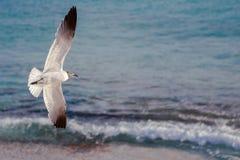Gaviota del vuelo con el océano en fondo Imagenes de archivo