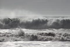 Gaviota del vuelo delante de ondas Fotografía de archivo