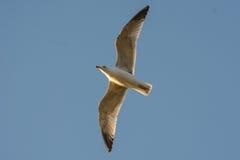 Gaviota del vuelo en cielo azul Imagen de archivo