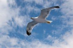 Gaviota del vuelo en cielo con las nubes y el sol brillante Imagen de archivo libre de regalías