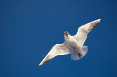 Gaviota del vuelo en el cielo azul Imagen de archivo libre de regalías