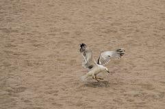Gaviota del vuelo en la playa Imagenes de archivo
