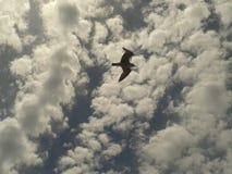 Gaviota del vuelo entre el cielo azul nublado de la melcocha oscura Imagenes de archivo