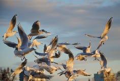 Gaviota del vuelo, pájaros, cielo Imagen de archivo libre de regalías