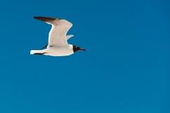 Gaviota del vuelo y el cielo azul Imagen de archivo