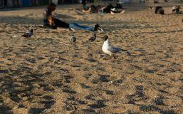 gaviota derecha orgullosa en la playa en la arena del fondo fotografía de archivo libre de regalías