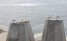Gaviota en Dolos - bloques de cemento de la defensa en un embarcadero, Cape Town, Fotos de archivo