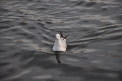 Gaviota en el agua Imagen de archivo libre de regalías
