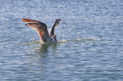 Gaviota en el agua Imagenes de archivo