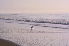 Gaviota en el borde del ` s del océano en la salida del sol Foto de archivo libre de regalías