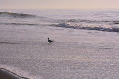 Gaviota en el borde del ` s del océano en la salida del sol Fotos de archivo