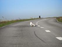 Gaviota en el camino Foto de archivo